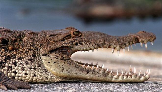 krokodilos